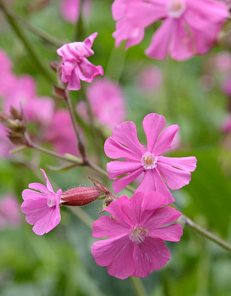 Dagkoekoesbloem Silene dioica (zaad) (Dagkoekoesbloem)