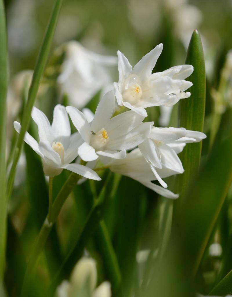 Buishyacint Puschkinia scilloides var. libanotica 'Alba' (Buishyacint)