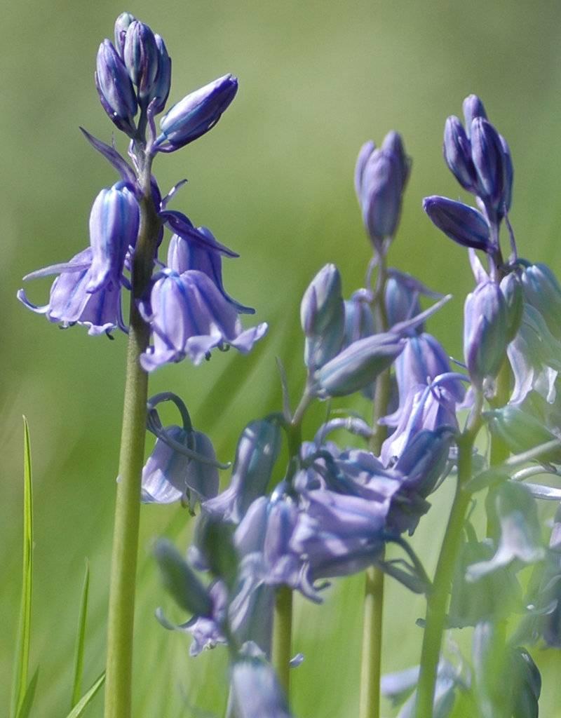 Hyacint (bos/wilde) Hyacinthoides non-scripta blauw, BIO (Boshyacint) - Stinzenplant