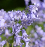 Hyacint (spaanse) Hyacinthoides hispanica blauw, roze, wit (mix) (Spaanse hyacint) - 120 stuks voor 5m2
