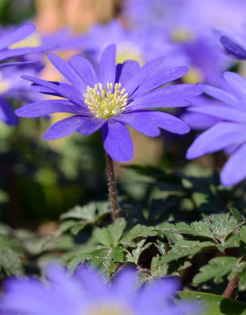 Anemoon (oosterse) Anemone blanda 'Blue Shades' (Oosterse anemoon) - 350 stuks voor 15m2