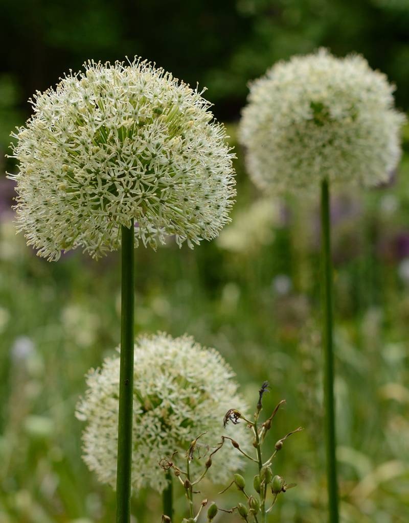 Sierui Allium 'Mount Everest' (Sierui)