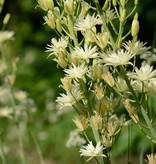 Indianenbloem Camassia leichtlinii 'Semiplena' (Indianenbloem)