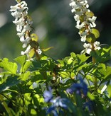 Holwortel Corydalis cava (bulbosa) (Holwortel) - Stinzenplant
