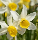 Narcis Narcissus 'Jack Snipe'
