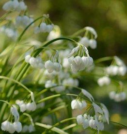 Look Allium paradoxum