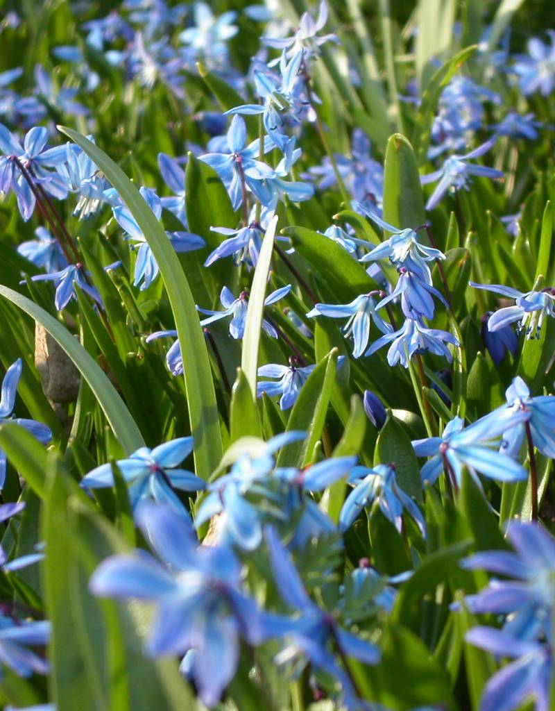 Sterhyacint (oosters) Scilla siberica, ECO (Oosterse sterhyacint) - Stinzenplant