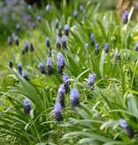 Druifhyacint Muscari latifolium (Breedbladige druifhyacint) - Stinzenplant, ECO