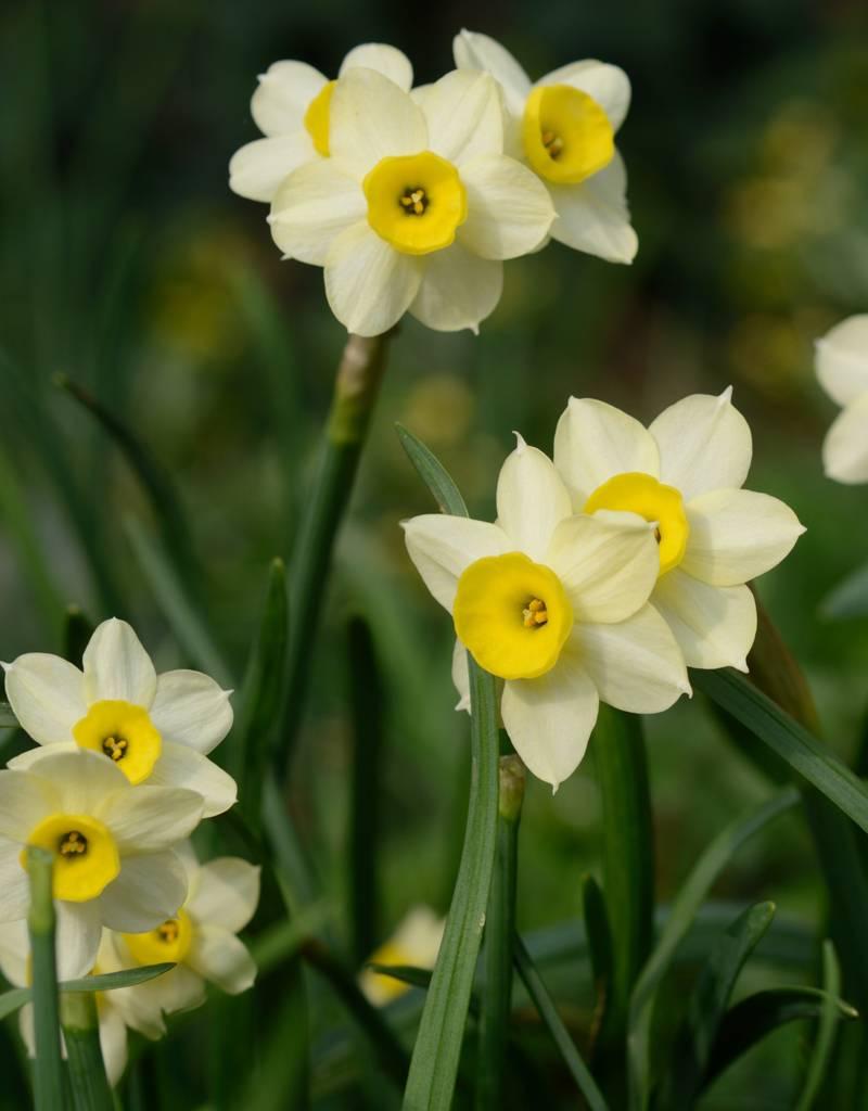 Narcis Narcissus 'Minnow', BIO