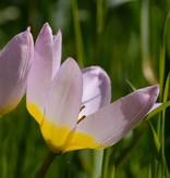 Tulp Tulipa bakeri 'Lilac Wonder', BIO