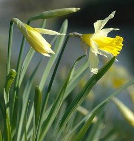 Narcis (wilde) Narcissus pseudonarcissus lobularis, bulk
