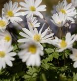 Anemoon (oosterse) Anemone blanda 'White Splendour' (Oosterse anemoon) - 125 stuks voor 5m2