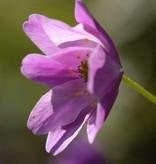 Anemoon (bos) Anemone nemorosa 'Westwell Pink' (Bosanemoon) - Stinzenplant