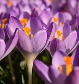 Krokus (boeren) Crocus tommasinianus 'Barr's Purple' (Boerenkrokus) - Stinzenplant