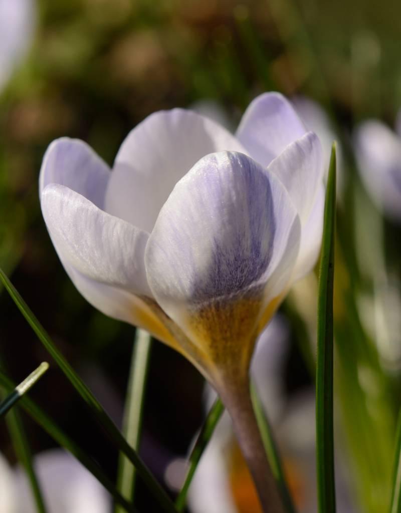 Krokus Crocus chrysanthus 'Blue Pearl'