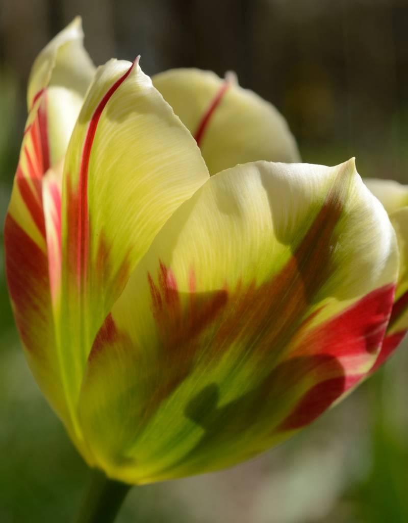 Tulp Tulipa 'Flaming Spring Green'