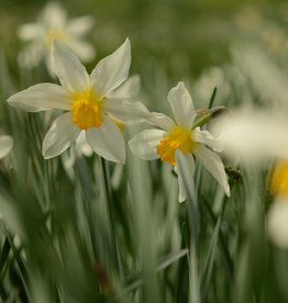 Narcis Narcissus 'Mrs. Langtry'