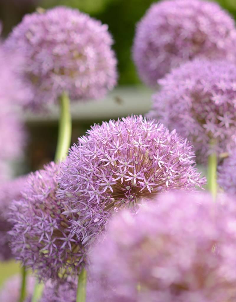 Sierui Allium 'Pinball Wizard' (Sierui)