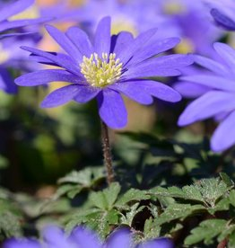 Anemoon (oosterse) Anemone blanda 'Blue Shades' , ECO
