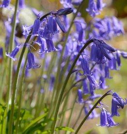 Hyacint (blue bell) Hyacinthoides non-scripta (Blue Bell)
