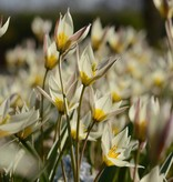 Tulp Tulipa turkestanica, BIO