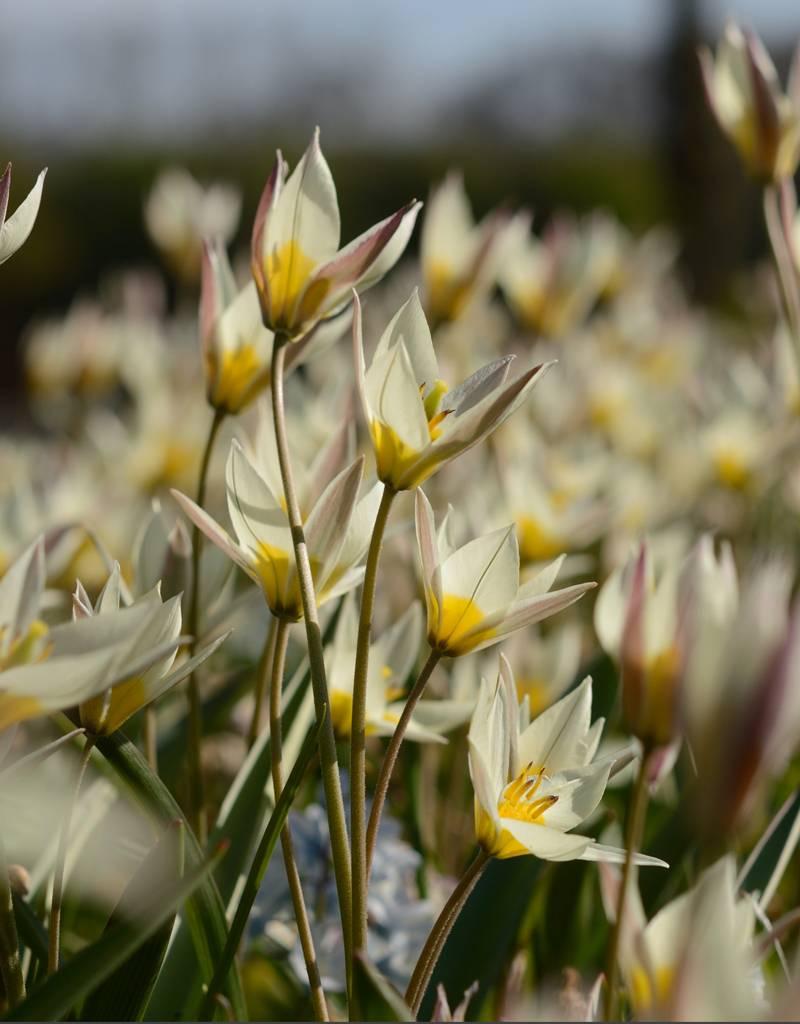 Tulp Tulipa turkestanica, ECO