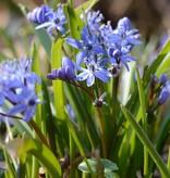 Sterhyacint (vroege) Scilla bifolia (Vroege sterhyacint) - Stinzenplant - 200 stuks voor 8m2