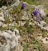 Kuifhyacint Muscari comosum (Kuifhyacint) - stinzenplant