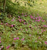 Cyclaam (voorjaar) Cyclamen coum (Kleine cyclaam)