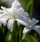 Sneeuwroem (grote) Chionodoxa luciliae 'Alba' (Witte grote sneeuwroem) - Stinzenplant, BIO
