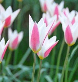 Tulp Tulipa clusiana 'Lady Jane'