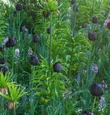 Tulp Tulipa 'Queen of Night'