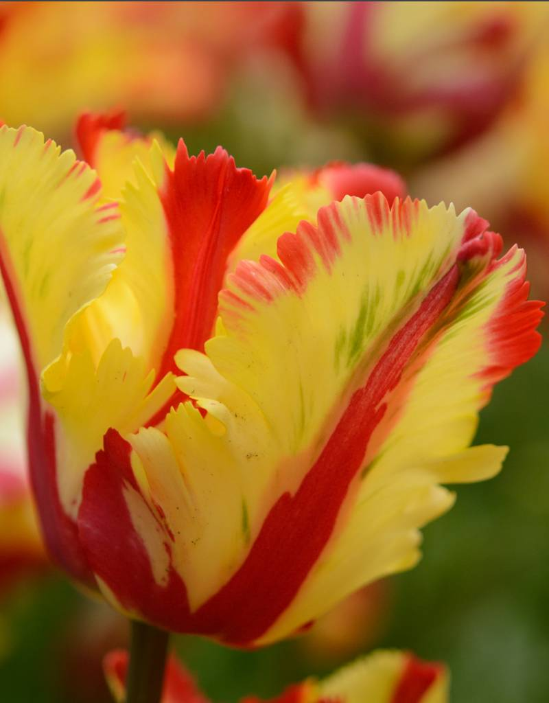 Tulp Tulipa 'Flaming Parrot'