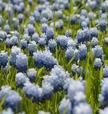 Blauwe druifjes Muscari 'Lady Blue', BIO