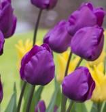 Tulp Tulipa 'Negrita'