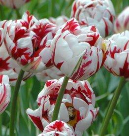 Tulp Tulipa 'Carnaval de Nice'