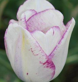 Tulp Tulipa 'Shirley'
