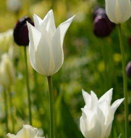 Tulp Tulipa 'White Triumphator'