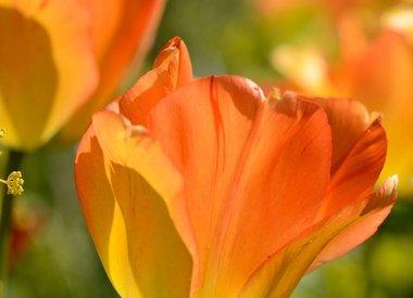 TULIPA - langstelige tulp