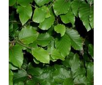 Haagplanten Groene beuk