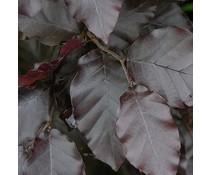 Haagplanten Rode beuk