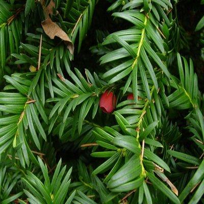 Haagplanten Venijnboom(Taxus)
