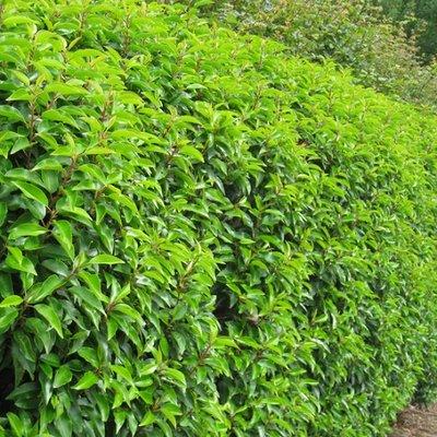 Haagplanten Portugese laurier