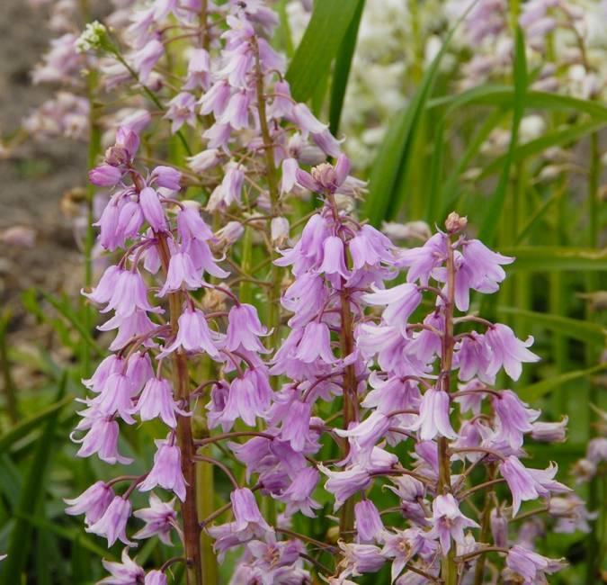 Hasenglöckchen (Spanisches) Hyacinthoides hispanica rosa (Spanisches Hasenglöckchen) - Stinsenpflanze