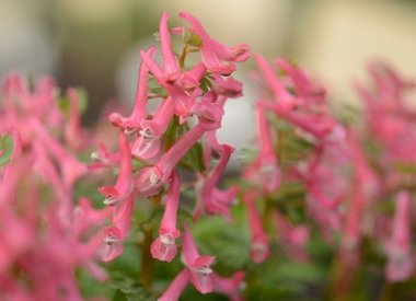 CORYDALIS - Lerchensporn