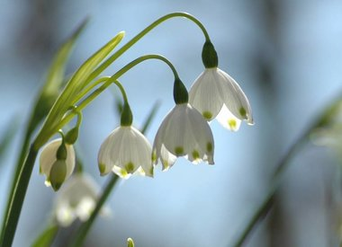 LEUCOJUM - Knotenblume & Märzenbecher