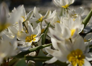 TULIPA - wilde (botanische) Tulpe