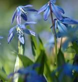 Blaustern (Sibirischer) Scilla siberica, Bio (Sibirischer Blaustern) - Stinsenpflanze