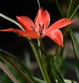Tulpe (Wild) Tulipa linifolia, Bio - 100 Stück für 4m2