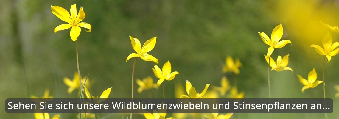 Wildtulpen